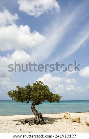 Divi Divi Tree in Aruba - stock photo