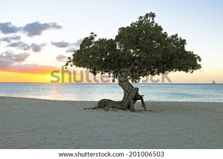 Divi divi tree on Aruba island in the Caribbean at sunset - stock photo