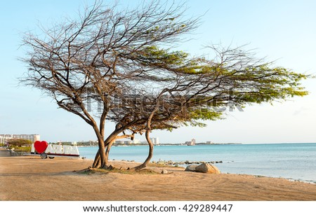 Divi divi tree on Aruba island in the Caribbean Sea - stock photo