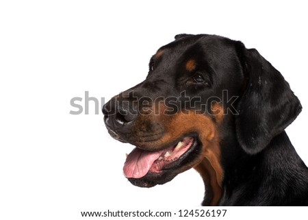 Doberman dog portrait isolated on white - stock photo
