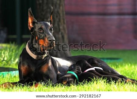 Doberman Dogs family on the grass - stock photo