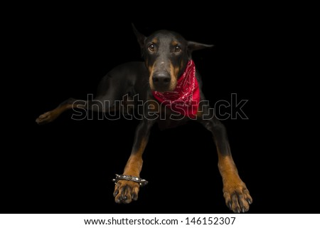 Doberman Dressed up as Punk - stock photo