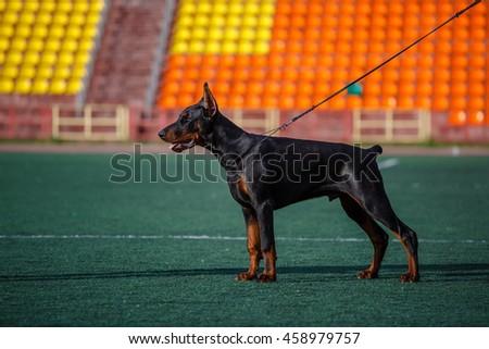 Doberman in the exterior rack. German service dog breed. - stock photo