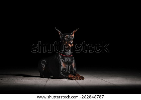 Doberman lying on the ground - stock photo