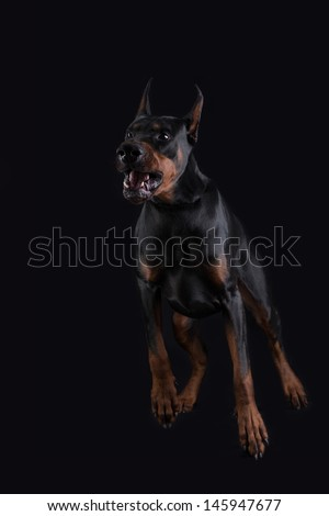 Doberman pincher on black background is ready to attack. - stock photo
