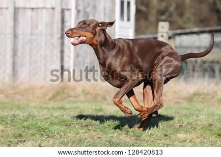 Doberman pinscher - stock photo