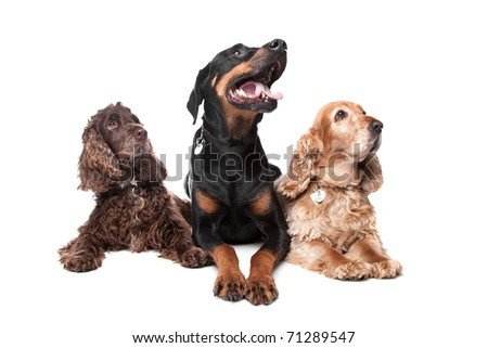 Doberman Pinscher and two cocker spaniel dogs isolated on a white background - stock photo