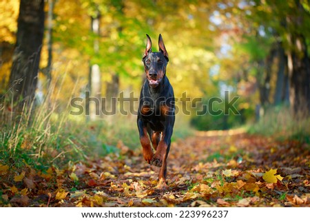 Doberman Pinscher dog - stock photo