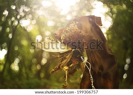 doberman pinscher dog hunting with pheasant bird. - stock photo