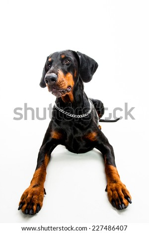 Doberman pinscher dog isolated on white shot from the front - stock photo