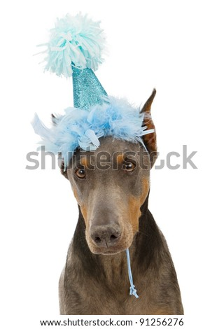 Doberman Pinscher dog wearing a blue sparkly birthday hat - stock photo