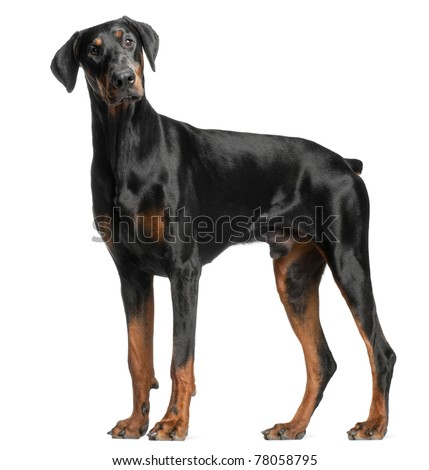 Doberman Pinscher, 13 months old, standing in front of white background - stock photo