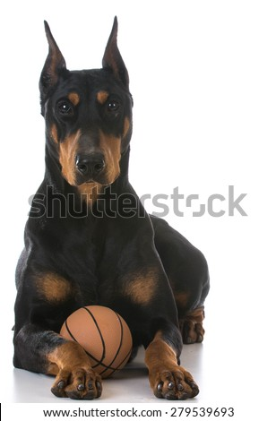 doberman pinscher with a toy ball on white background - stock photo