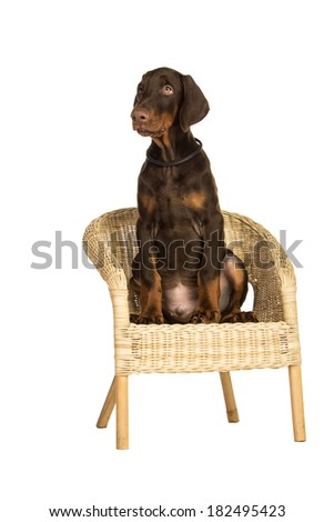 Doberman puppy in chair, isolated on white - stock photo