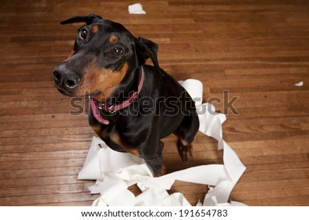 Doberman sitting in a pile of shredded toilet paper.  Room for your text. - stock photo