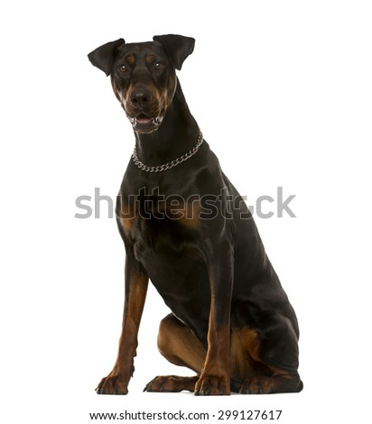 Doberman sitting in front of a white background - stock photo