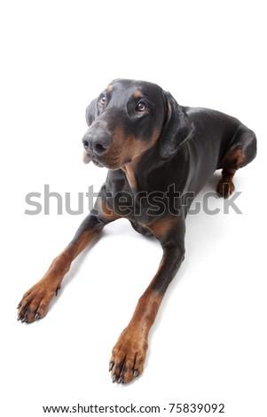 Dobermann on white background - stock photo