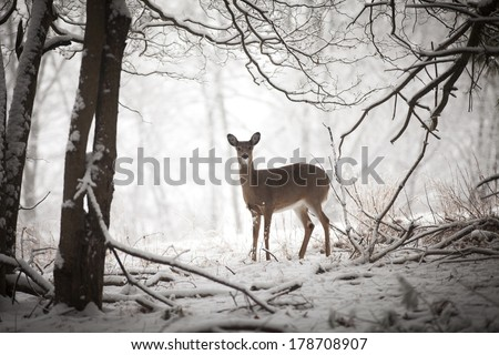 Doe standing at edge of woods - stock photo