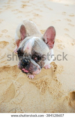 Dog, A French bulldog playing on the beach. - stock photo