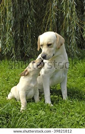 dog, a Labrador in a garden - stock photo