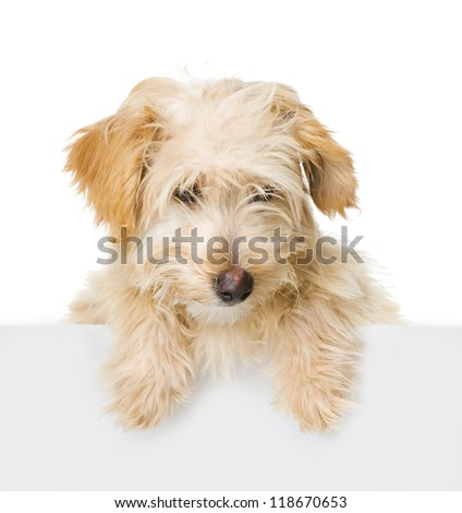 Dog above white banner looking at camera.  isolated on white background - stock photo