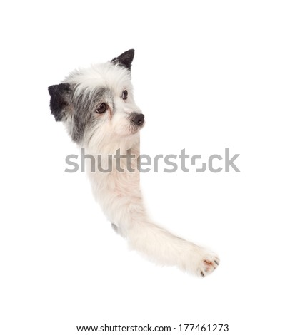 dog above white placard. isolated on white background - stock photo