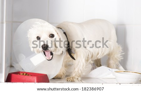 Dog after a surgical operation. Feeding time - stock photo