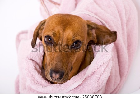 Dog after the bath - stock photo