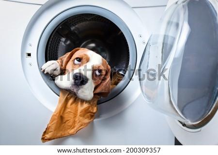 Dog after washing in a washing machine - stock photo