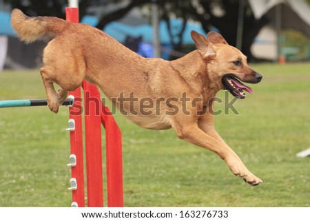 Dog Agility crossbreed jumping - stock photo