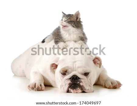 dog and cat - angry kitten laying on english bulldog's back isolated on white background - stock photo