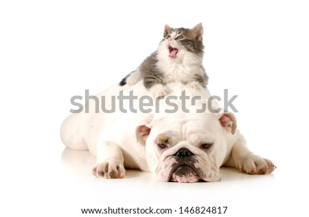 dog and cat - bored english bulldog with surprised kitten laying on top of her back isolated on white background  - stock photo