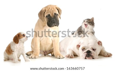 dog and cat fight - cavalier king charles spaniel, bull mastiff, english bulldog and domestic long haired kitten arguing isolated on white background - stock photo