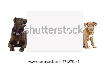 Dog and puppy pit bull peeking from behind poster isolated on white background - stock photo
