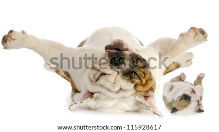dog and puppy upside down - english bulldog and puppy laying on backs isolated on white background - stock photo