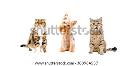 Dog and two cats sitting together isolated on white background - stock photo