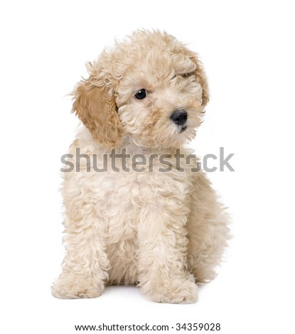 dog : apricot toy Poodle puppy siting (9 weeks old) in front of awhite background - stock photo