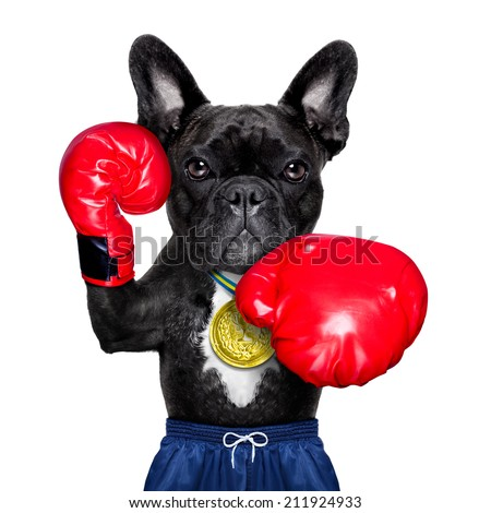 dog as  boxing trainer with gold medal wearing big red  boxing gloves - stock photo