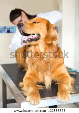 Dog at the vet and a doctor checking his tempreature from behind - stock photo