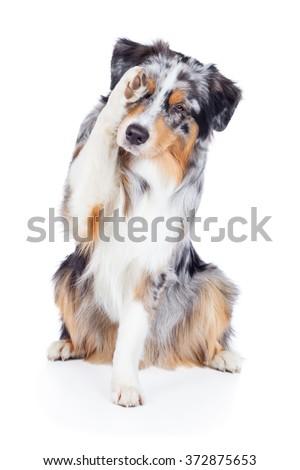 Dog Australian Shepherd Blue Merle ashamed - stock photo