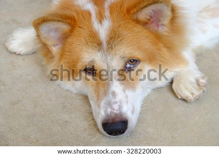 Dog(Bang-kaew) of thailand.White Brown Color. Face Front Show and open eyes - stock photo