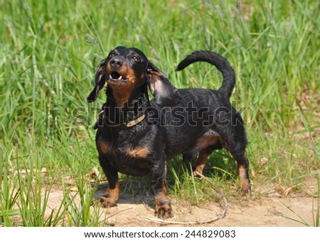 dog barks. Dachshund stands on a green background on the grass. Color fees is tan.  - stock photo