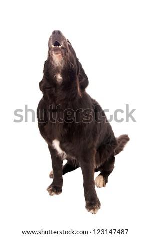 dog barks / Dog - stock photo