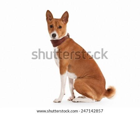 Dog. Basenji on white background - stock photo