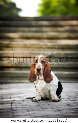 Dog Basset hound sitting and looks at the camera - stock photo