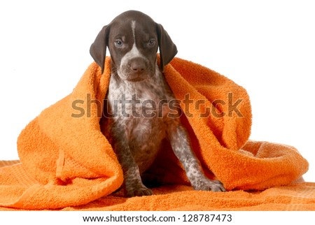 dog bath - german shorthaired pointer getting dried off by orange towel - stock photo