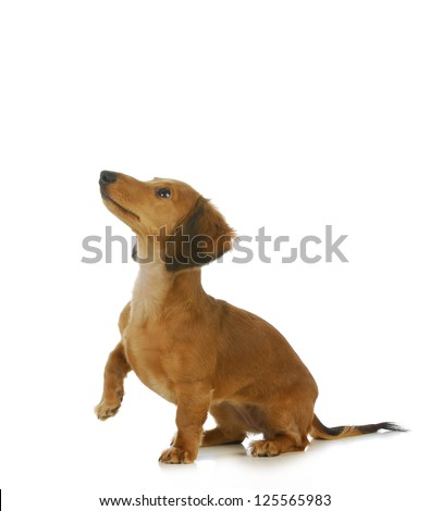 dog begging - long haired dachshund looking up isolated on white background - stock photo