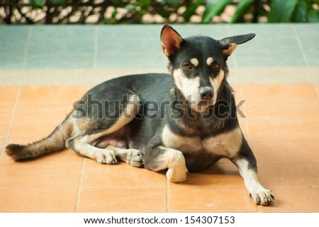 dog black happy homeless stray thai - stock photo
