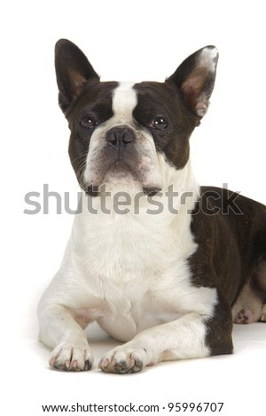dog boston terrier isolated on white background - stock photo
