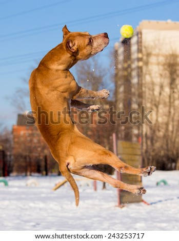 Dog breed American Pit Bull Terrier catches ball - stock photo